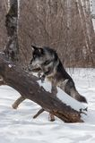 Μαύρο πόδι Λύκου Canis λύκων φάσης γκρίζο επάνω στο κούτσουρο Στοκ εικόνα με δικαίωμα ελεύθερης χρήσης