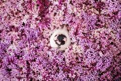 Μαύρο ρόδινο κόλλεϊ περιλαίμιων μύτης στα ρόδινα λουλούδια στοκ φωτογραφία