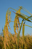 Μαύρο ρύζι ακίδων falm, ρύζι, cornfield, ορυζώνας, αυτί του ορυζώνα στοκ φωτογραφία