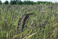 Μαύρο ρύζι ακίδων falm, ρύζι, cornfield, ορυζώνας, αυτί του ορυζώνα Στοκ φωτογραφία με δικαίωμα ελεύθερης χρήσης