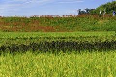 μαύρο ρύζι Στοκ Εικόνα