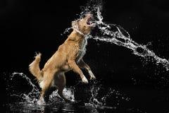 μαύρο σκυλί ανασκόπησης Στοκ εικόνες με δικαίωμα ελεύθερης χρήσης