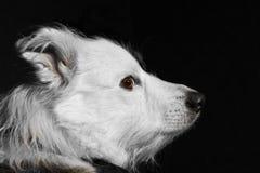 μαύρο σκυλί ανασκόπησης Στοκ Φωτογραφία