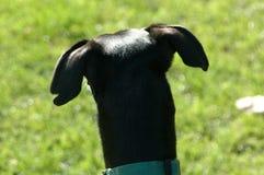 Μαύρο σκυλί από πίσω Στοκ φωτογραφίες με δικαίωμα ελεύθερης χρήσης