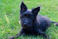μαύρο σκυλί ουγγρικά Στοκ Φωτογραφίες