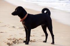μαύρο σκυλί παραλιών Στοκ Εικόνες