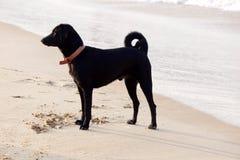 μαύρο σκυλί παραλιών Στοκ φωτογραφία με δικαίωμα ελεύθερης χρήσης