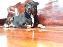 Μαύρο σκυλί που βρίσκεται σε ένα ξύλινο πάτωμα στοκ φωτογραφία
