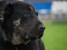 μαύρο σκυλί που φαίνεται &d Στοκ Φωτογραφίες