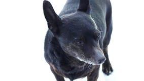 Μαύρο σκυλί σε ένα άσπρο υπόβαθρο απόθεμα βίντεο