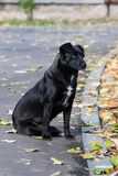 Μαύρο σκυλί στην εποχή φθινοπώρου Στοκ Εικόνα