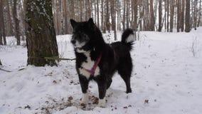 Μαύρο σκυλί στο χειμερινό δάσος απόθεμα βίντεο