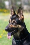 μαύρο σκυλί το επικεφαλ Στοκ Εικόνες