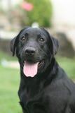 μαύρο σκυλί Στοκ Φωτογραφία
