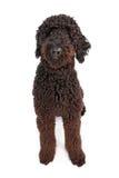 μαύρο σκυλί doodle χρυσό στοκ εικόνα με δικαίωμα ελεύθερης χρήσης