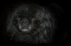 μαύρο σκυλί ανασκόπησης Στοκ φωτογραφίες με δικαίωμα ελεύθερης χρήσης