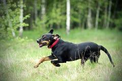 Μαύρο σκυλί κυνηγιού στοκ εικόνα