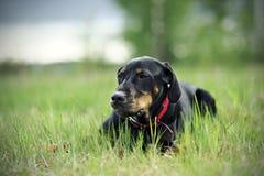 Μαύρο σκυλί κυνηγιού στοκ φωτογραφία