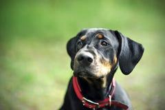 Μαύρο σκυλί κυνηγιού στοκ εικόνες με δικαίωμα ελεύθερης χρήσης