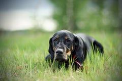 Μαύρο σκυλί κυνηγιού στοκ εικόνα με δικαίωμα ελεύθερης χρήσης