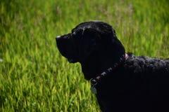 μαύρο σκυλί Λαμπραντόρ Στοκ φωτογραφία με δικαίωμα ελεύθερης χρήσης