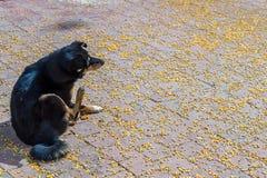 Μαύρο σκυλί με το διεσπαρμένο αραβόσιτο Στοκ Εικόνα