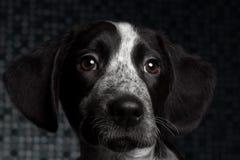 Μαύρο σκυλί πορτρέτου κινηματογραφήσεων σε πρώτο πλάνο στοκ εικόνες