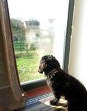 Μαύρο σκυλί που φαίνεται έξω παράθυρο Στοκ Εικόνα