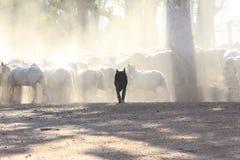 Μαύρο σκυλί προβάτων σε αντίθεση με τη λευκότητα των απογυμνωμένων προβάτων Στοκ Εικόνες