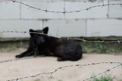 Μαύρο σκυλί σε μια αλυσίδα πίσω από έναν οδοντωτό - καλώδιο Στοκ Εικόνες