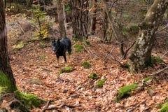 Μαύρο σκυλί στα ξύλα Στοκ Φωτογραφία