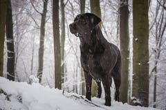Μαύρο σκυλί στο δάσος που καλύπτεται με το χιόνι Στοκ φωτογραφίες με δικαίωμα ελεύθερης χρήσης