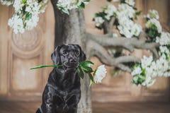 Μαύρο σκυλί του Λαμπραντόρ με το λουλούδι Στοκ Φωτογραφίες