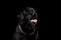 Μαύρο σκυλί του Λαμπραντόρ πορτρέτου κινηματογραφήσεων σε πρώτο πλάνο, ευτυχές χαμόγελο, μπροστινή άποψη, που απομονώνεται Στοκ Εικόνες