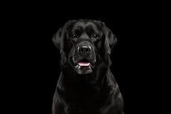 Μαύρο σκυλί του Λαμπραντόρ πορτρέτου κινηματογραφήσεων σε πρώτο πλάνο, επιφυλακή που κοιτάζει, μπροστινή άποψη, που απομονώνεται Στοκ εικόνες με δικαίωμα ελεύθερης χρήσης