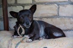Μαύρο σκυλί του Λαμπραντόρ Στοκ Εικόνες