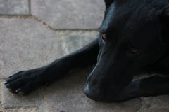 Μαύρο σκυλί Στοκ φωτογραφίες με δικαίωμα ελεύθερης χρήσης