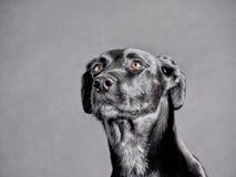 Μαύρο σκυλί (91) Στοκ φωτογραφία με δικαίωμα ελεύθερης χρήσης