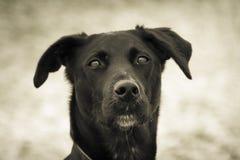 Μαύρο σκυλί 138 Στοκ Εικόνες