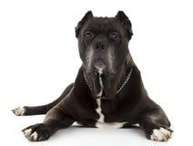 Μαύρο σκυλί Corso καλάμων Στοκ Φωτογραφία