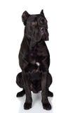 μαύρο σκυλί corso καλάμων Στοκ φωτογραφίες με δικαίωμα ελεύθερης χρήσης