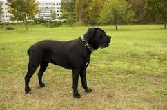 μαύρο σκυλί corso καλάμων Στοκ φωτογραφία με δικαίωμα ελεύθερης χρήσης