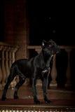 Μαύρο σκυλί Corso καλάμων Στοκ Φωτογραφίες