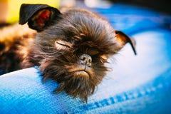 Μαύρο σκυλί Griffon Bruxellois (Βρυξέλλες, Belge) Στοκ Φωτογραφίες