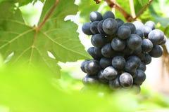 Μαύρο σταφύλι στον κήπο, σταφύλι κρασιού Στοκ Εικόνες