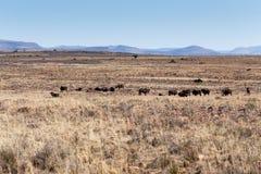 Μαύρο τοπίο Wildebeest σε Cradock Στοκ Φωτογραφίες