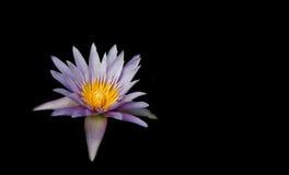 Μαύρο υπόβαθρο λουλουδιών εγκαταστάσεων Lotus και λωτού Lotus Στοκ Φωτογραφία