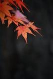 Μαύρο υπόβαθρο φύλλων σφενδάμου Στοκ εικόνες με δικαίωμα ελεύθερης χρήσης