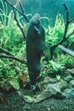 Μαύρο φάντασμα knifefish στο ενυδρείο, Apteronotus albifrons Στοκ φωτογραφία με δικαίωμα ελεύθερης χρήσης