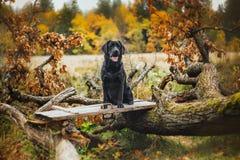 Μαύρο φθινόπωρο του Λαμπραντόρ στη φύση, τρύγος στοκ φωτογραφία με δικαίωμα ελεύθερης χρήσης